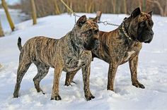 D&G Kennels have some of the best Presa Canario Cane Corso Kennel, Cat Harness, Bully Dog, Animal Nutrition, War Dogs, Service Dogs, Best Dogs, Dog Breeds, Cute Dogs