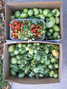 A few garden harvest tips. . .ripening schmaters and homemade pepper flakes