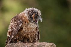 Source: Flickr / kulu40  #brown wood owl