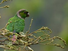 Maroon tailed parakeet. Birds of Northwest Ecuador: the Chocó - Dušan Brinkhuizen