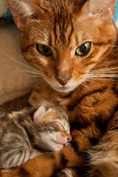 Our cat Caira and one of her newborn kittens. The one-week old kittens sure love to cuddle with their mom!