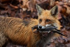 Red Fox by Carl Monopoli on 500px