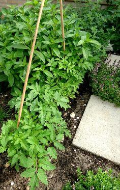 Het eerste hoekje dat klaar was. Munt, tijm, dille en jonge tomatenplanten die ik er onlangs bijgezaaid heb (juni 2017)
