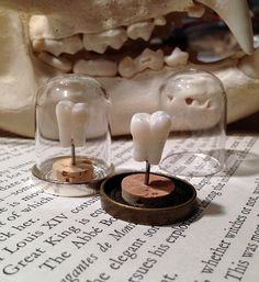 Deluxe Highest Quality Real Human Molar Specimen Display in Glass Bell Dome by BoneLust on Etsy