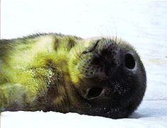 gif animals mine seal SEALS seal pup Weddell Seal