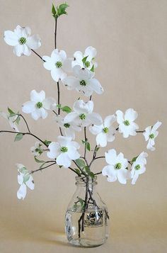 dogwood in milk bottle Check out the website to see how I lost 20 pounds last month Dogwood Trees, Dogwood Flowers, Cut Flowers, Spring Flowers, White Flowers, Paper Flowers, Beautiful Flowers, Photos Of Flowers, Simply Beautiful