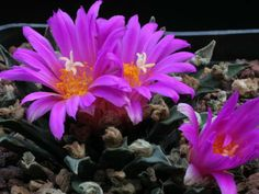 Ariocarpus agavioides - Tamaulipas Living Rock Cactus is a small rosette-shaped cactus with short, stiff, dark green tubercle...