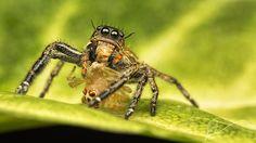 (Hyllus sp.) w prey by Daveboy71