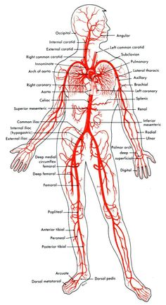 Arteries And Veins Diagram 205 Circulatory Pathways Anatomy And Physiology. Arteries And Veins Diagram 205 Circulatory Pathways Anatomy And Physiology. Human Body Anatomy, Human Anatomy And Physiology, Muscle Anatomy, Medical Coding, Medical Science, Medical School, Interventional Radiology, Arteries And Veins, Medical Anatomy