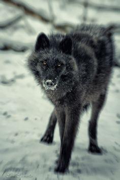 Thanks to - black wolf Black Mister Wolf, Wolf Stuff, Dangerous Animals, Wolf Love, Beautiful Wolves, Wild Creatures, Beautiful Creatures, Animal Pictures, Beast