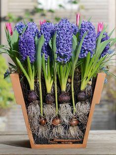 """""""Lasagne planting"""" Plant de bollen op elkaar en je hebt lang plezier in het voorjaar! #KIXX #handschoenen"""