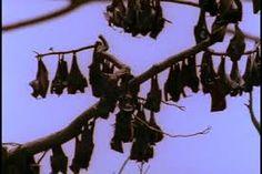 Image result for cluster of hanging bats
