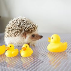 Rubber Duckies & Hedge hogs make for a really cute pic