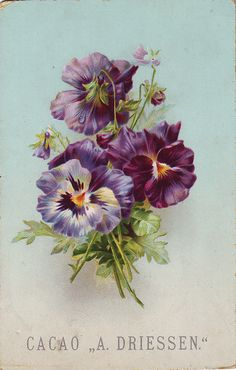 chromo cacao driessen pansies in spray | by patrick.marks