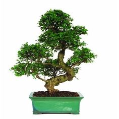 Fukien Tea Bonsai China Indoor Ttree Tropical Beauty Trunk 20 Years Plant Gift #FukienTeaBonsaiChina