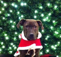12 / 23      Petango.com – Meet Maynard, a 7 months 26 days Terrier, Pit Bull / Mix available for adoption in BETHANY, OK Contact Information Address  6710 NW 31st Terrace, BETHANY, OK, 73008  Phone  (405) 463-1556  Website  http://www.safehavenanimalresc ue.org  Email  info@safehavenanimalrescue.org