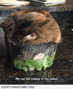 funny cat pictures cat fell asleep in my salad