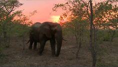 Laura Brown @lauragaile  11-14-15 Beautiful sunrise and a wonderful bull ellie with @scottydsafari on #SafariLive