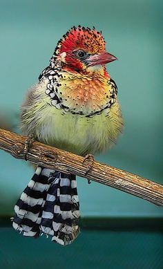 The Red-and-yellow Barbet (Trachyphonus erythrocephalus) is a species of African barbet found in eastern Africa.  So pretty and unique!