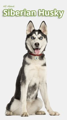 All About Siberian Husky - The Siberian Husky loves life. Happy and affectionate, he's a working dog but not a guard dog. His dense double coat makes...