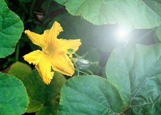 Na mohutné rostliny s pěkně tvarovanými listy a rovněž velikými, zářivě žlutými květy je radost pohledět. Přitom pilně plodí po celé léto až do podzimu. Nastává čas na výsadby, dorostou i květnové výsevy. Plant Leaves, Plants, Compost, Plant, Planets