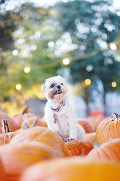 Coco Bean Happy Halloween! | Chic Sprinkles #shihtzu #pumpkins #halloween