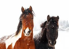 Daily Dose - January 2, 2016 - Snow Ponies - Cierzo and Jack  2016©Barbara O'Brien Photography