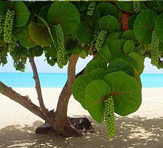 Tropical Sea Grape Beach Tree Coccoloba uvifera