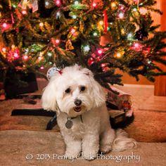 Gretchen, maltipoo, pet photography Maltipoo, Pet Photography, Jackson, Pets, Animals, Animals And Pets, Animales, Animaux, Animal