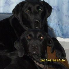 Labrador Bonnie & Spike Die Gewinner beim Doppelkopf vom Wochenende…   #Hundename: Bonnie & Spike / Rasse: #Labrador      Mehr Fotos: https://magazin.dogs-2-love.com/foto/labrador-bonnie-spike/ Foto, Hunde