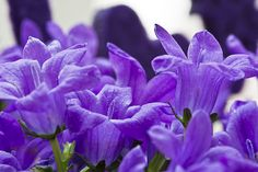 Purple Flowers 67/365
