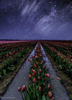 Starlit Tulips