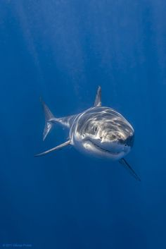 Portrait of Cal Ripfin - Guadalupe's most famous Great White Shark by George Probst