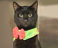 SNJ Today's Adoptable Pet-of-the-Week is Tommy! This cat's got character! At 2 years old, he's fully neutered, dewormed, and vaccinated. Tommy is a slender Shorthair/Mix with glossy black fur—but don't let the dark coat fool you; he is extremely lighthearted and loves to be the center of attention. For additional details on Tommy, or another furry friend, contact the Animal Welfare Association at (856) 424-2288.