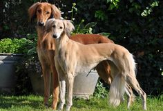 saluki photo | ... above is an image of Saluki Dog 5 in Saluki The Persian Greyhound