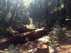 Downed redwoods in Big Sur on the way to Sykes Hot Springs