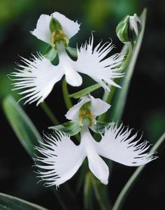 The most distinctive kind of wild Orchid is White Egret. It commonly grows in Asia and has been successfully flourishing in the United States. Its different appearance makes it feel like a flying bird. As its name shows, this type of wild Orchid comes only in white flowers. A completely grown flowering spike can have ten flowers, and can attain the height of sixteen inches.
