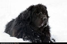 Like a good Newfie loves the snow, I love me a good Newf.