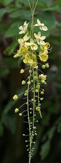 Being so conspicuous and widely planted, this tree has a number of common names. In English, it is also known as the golden shower cassia and also as Indian laburnum or golden shower. It is known in Spanish-speaking countries as caña fistula.