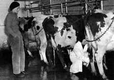 Milking cows with Alfalaval machinery. Frances Donaldson with a landgirl