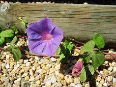 morning glories petunias gentle glory mornings forward gentle petunia ...