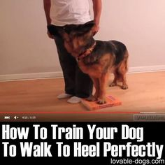 This video by Training Positive is a great example of an effective dog training process. By training a dog to heel, it works as a perfect exercise that helps develop various capabilities. Clicker Training Puppy, Training Your Puppy, Dog Training Tips, Potty Training, Toilet Training, Safety Training, Bichon Frise, Dog Commands Training, Food Dog