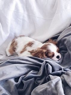 Things we all enjoy about the Smart Cavalier King Charles Spaniel Puppies Cavalier King Charles Blenheim, King Charles Puppy, Cavalier King Charles Spaniel Puppy, Puppies And Kitties, Cute Puppies, Doggies, Cockerspaniel, Spaniel Puppies, Sleeping Dogs