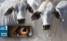 Animals Australia's first investigation in Indonesia - as shown on Four Corners - exposed the routine, widespread and brutal treatment of Australian cattle. The level of industry knowledge and complicity revealed a damning picture of the live export trade and led to sweeping reforms of the entire industry.