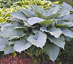 Buy Hosta Queen of the Seas - Buy Hostas Perennials Online. Garden Crossings Online Garden Center offers a large selection of Hostas Plants. Shop our Online Perennial catalog today. Sea Plants, Garden Plants, Fruit Garden, Tropical Plants, Herb Garden, Lavender Flowers, White Flowers, Outdoor Plants, Outdoor Gardens
