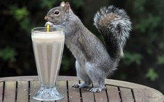 Alison, from Stubbington, Hampshire came up with the idea of the peanut treat after getting a smoothie maker for her birthday. She says the squirrels in her garden just love it and have even learnt to drink it through a straw.