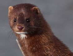 Mink looks better on the Mink Mink Animal, Adorable Cute Animals, Animal Activist, Paws And Claws, Animals Of The World, Animal Rights, Creative Kids, Wildlife Photography, Mammals