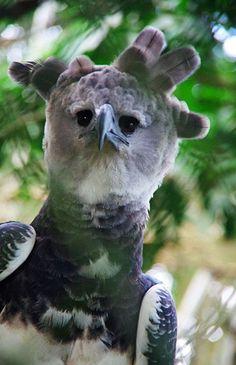 Harpy Eagle (Harpia harpyja) named Panama Beautiful Birds, Animals Beautiful, Cute Animals, Scavenger Birds, Harpy Eagle, Baby Dinosaurs, Realistic Drawings, Birds Of Prey, Primates
