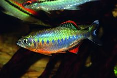 Royal Trout Danio