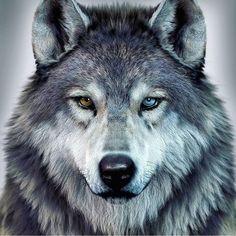 alfa and omega wolf wolves \ alfa and omega wolf ; alfa and omega wolf wolves ; Madara Wallpaper, Wolf Wallpaper, Wolf Photos, Wolf Pictures, Snarling Wolf, Wolf Hybrid, Wolf Eyes, Alpha Wolf, Wolf Artwork